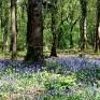 Bluebells, Lower Woods Nature Reserve, Nr Wickwar