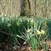 gwt1-daffodils.jpg